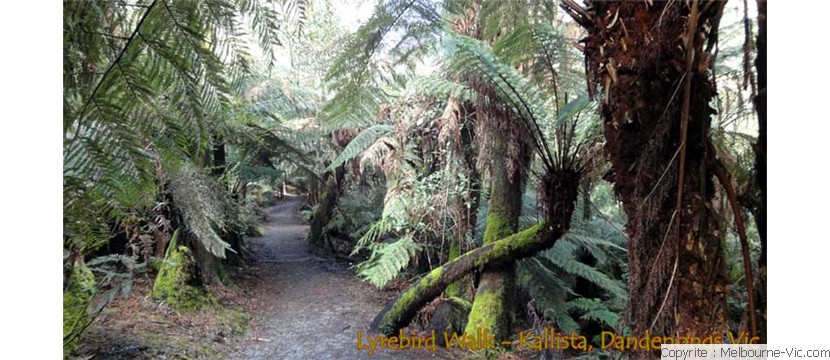 Lyrebird Walk-Kallista
